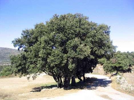 Chêne vert Quercus ilex
