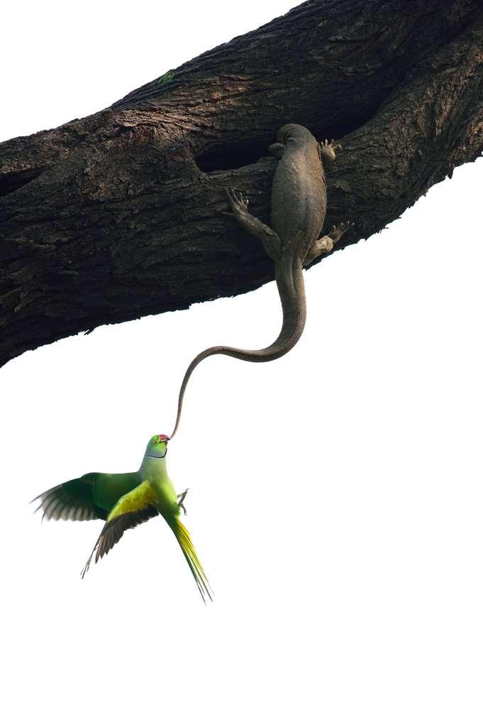 Une perruche tente de chasser un varan du Bengale. La composition de la scène donne presque l'impression que c'est irréel. © Ganesh H Shankar, 2016 Wildlife Photographer of the Year