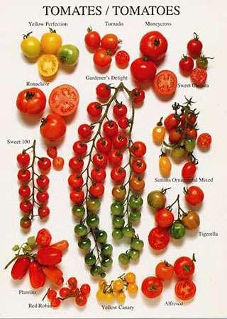 Différentes variétés de tomates. © DR