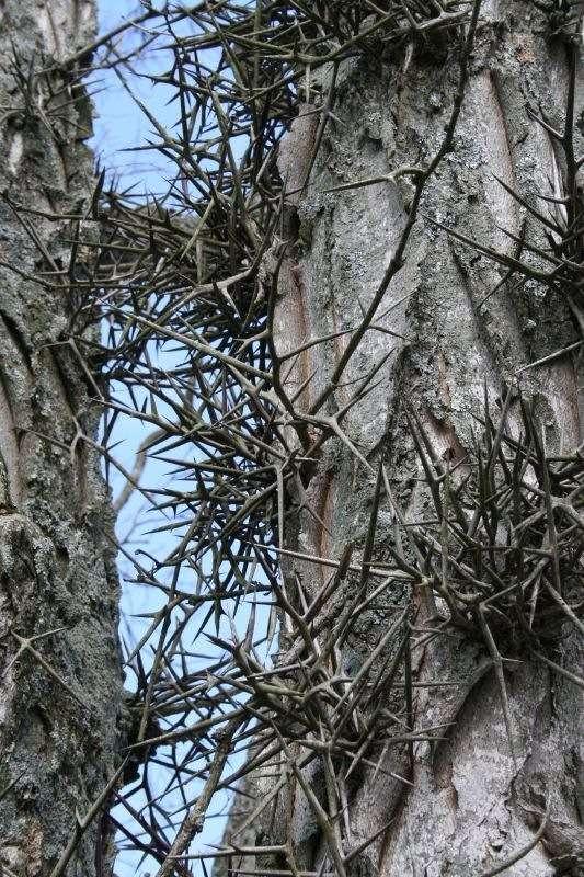 Le févier présente des épines impressionnantes. © Janet Powell, Flikr CC