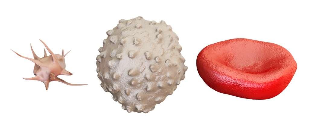 Les plaquettes (à gauche) sont des fragments cellulaires issus de grosses cellules : les mégacaryocytes. Au milieu : un lymphocyte. À droite : un globule rouge. © alexlmx, Fotolia