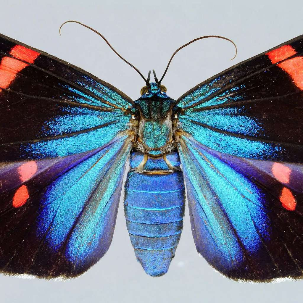 Lepidoptera Erebidae Arctiiinae Hypocrita hystaspes (Butler, 1871) DR photo HPA. © Tous droits réservés