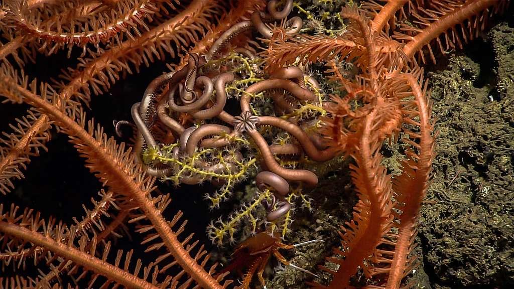 Méli-mélo d'ophiures et de coraux