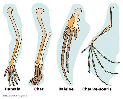"""Variations sur le thème du membre antérieur © Campbell, Reese, & Mitchell """"Biology"""
