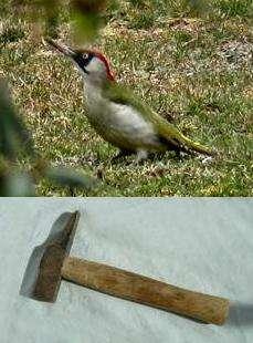 Le marteau développé par l'homme et le martelage du pivert : Deux techniques bien disctinctes (Crédits : www2.ac-lyon.fr/Christophe Olry/Futura-Sciences)