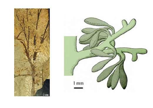 Fig. 15 à gauche : Calamophyton. Axe ramifié couvert d'organes latéraux végétatifs. A droite Fig. 16 : Calamophyton Reconstitution d'un organe latéral fertile