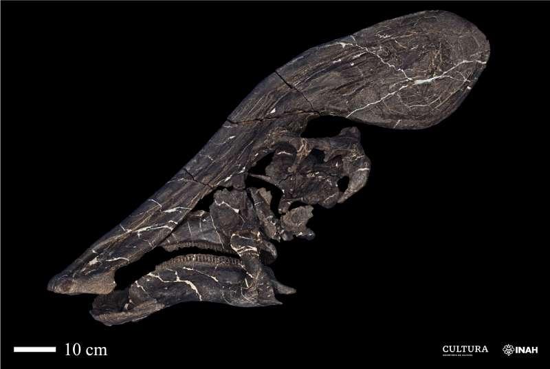 Le crâne du Tlatolophus galorum. Les chercheurs de l'Institut national d'anthropologie et d'histoire et de l'Université nationale autonome du Mexique ont déterminé que sa crête devait mesurer quelque 1,30 mètre. © Juan Miguel Contreras, Institut de géologie