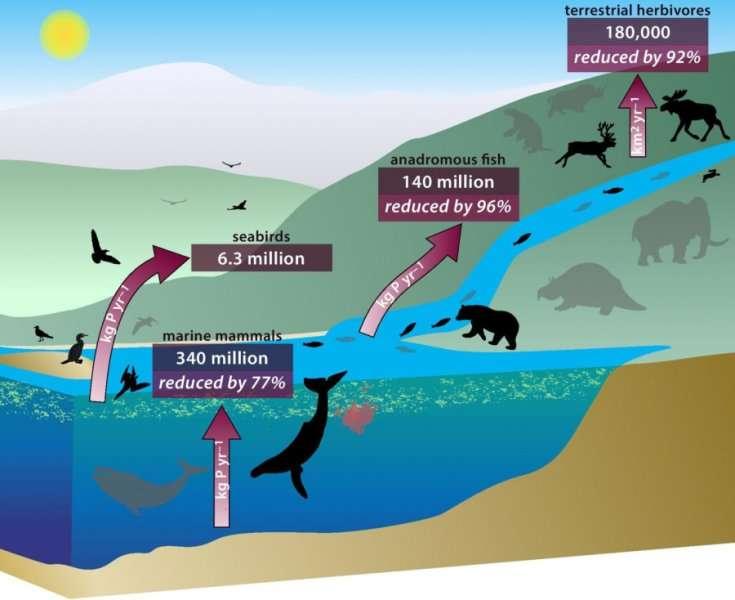 Le schéma des transports de nutriments des mers vers les terres par les grands animaux, dont beaucoup ont disparu ou dont les populations ont fortement régressé (représentés en gris). Ces transporteurs bénévoles, par leurs excréments et leurs cadavres, sont les mammifères marins (marine mammals), les oiseaux de mer (seabirds), les poissons anadromes (anadromous fish) et les herbivores terrestres (terrestrial herbivores). Les flux montants sont exprimés en kilogrammes de phosphore par an (kg P yr-1). Pour les herbivores terrestres, l'unité est le kilomètre carré par an (km2 yr-1) ; elle mesure la capacité d'un milieu à diffuser les nutriments (c'est l'équivalent de la diffusivité thermique d'un matériau). © Pnas, dessin de Renate Helmiss