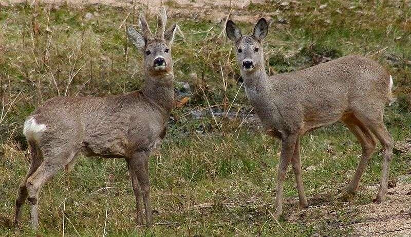 Chevreuils mâle (bois en velours) et femelle. © Jojo, GNU FDL Version 1.2