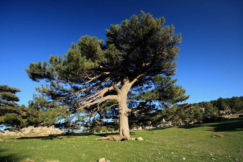 Le pin de Corse est souvent désigné comme le pin Laricio en Sicile et en Calabre, où il pousse également. © Fredb, CC by-nc-sa 2.0