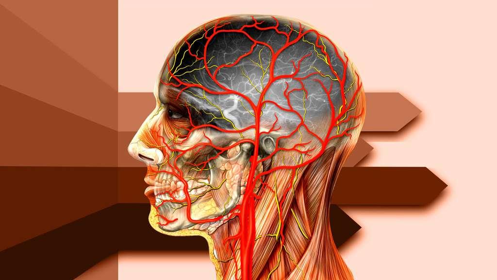 Anatomie de la tête de côté avec les artères carotides
