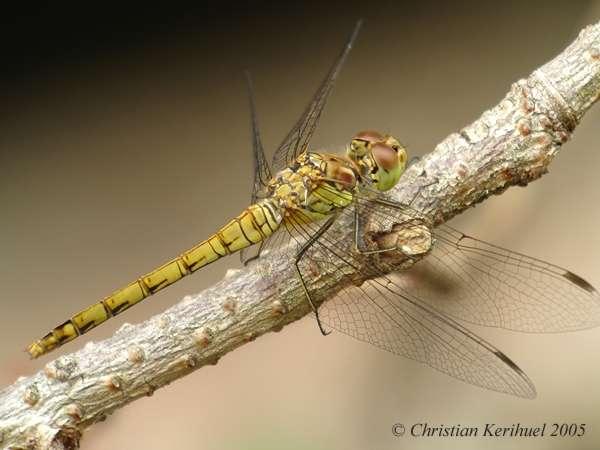 Sympétrum à côtés striés femelle