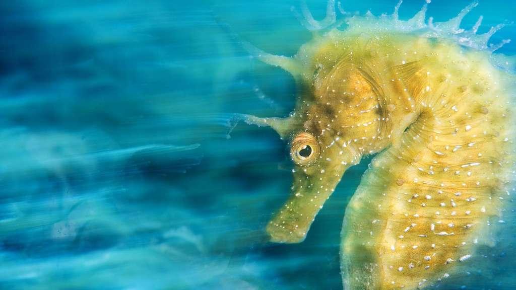 Gros plan sur un hippocampe