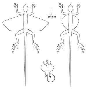 Figure 1. A gauche Kuehneosuchus latissimus. A droite, Kuehneosaurus latus. Au centre, l'actuel Draco melanopogon (voir la figure 2). Schéma extrait de l'article publié dans Paleontology.