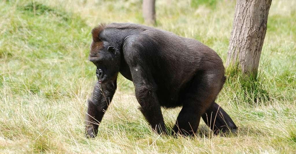 Membres inférieurs et supérieurs : marche et préhension. Ici, gorille des montagnes. © Stevebidmead, Pixabay, DP