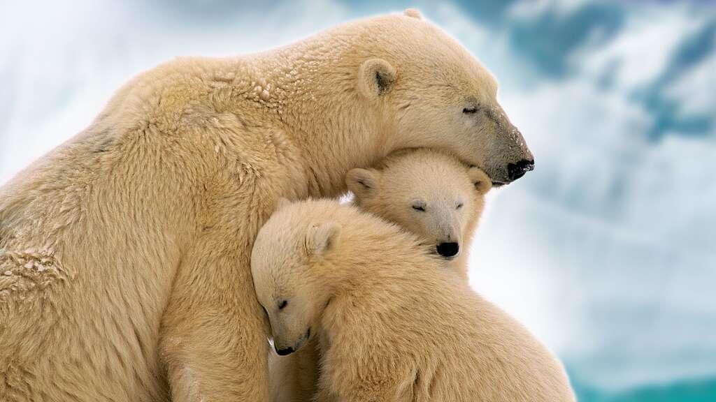 Les oursons blancs, bébés du froid