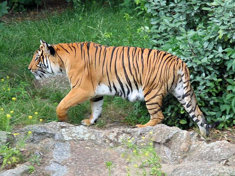 Tigre d'Indochine. © H. Zell, Wikipédia, GNU FDL Version 1.2