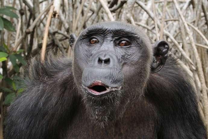 Des primates non humains inoculés avec le même vaccin expérimental contre le virus Ebola que celui testé chez les humains ont développé des réponses immunitaires suffisantes pour les protéger de la maladie, une fois exposés à des niveaux élevés de virus Ebola. © dsg-photo.com, Wikimedia Commons, cc by sa 3.0