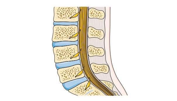 La colonne vertébrale : les vertèbres, les disques intervertébraux et la moelle épinière. © Servier Medical Art