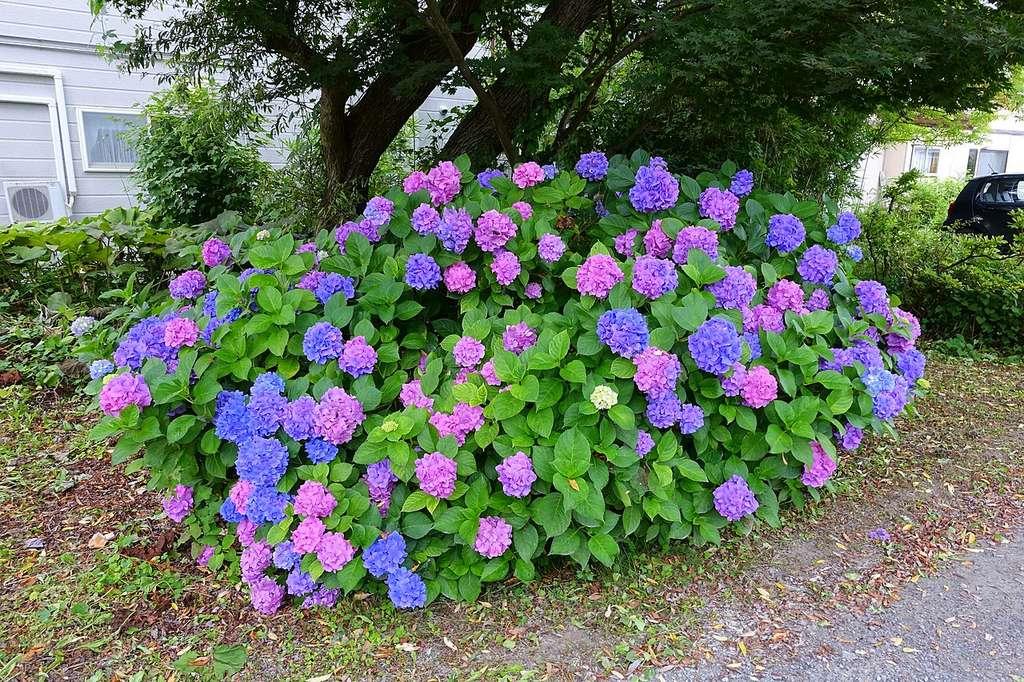 Fleurs roses et bleues sur un même hortensia, acidité et aluminium mal dosés dans le sol. © Daderot, Domaine Public