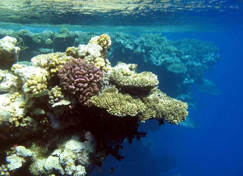 L'expédition Tara Oceans étudiera notamment les coraux. © F. Benzoni/Tara