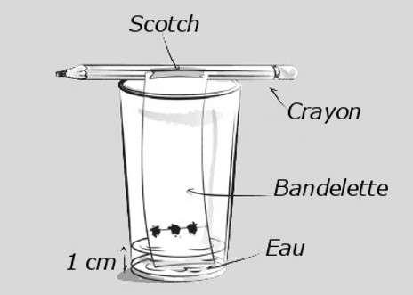 L'eau, par capillarité, monte le long de la bande de papier. © Dunod