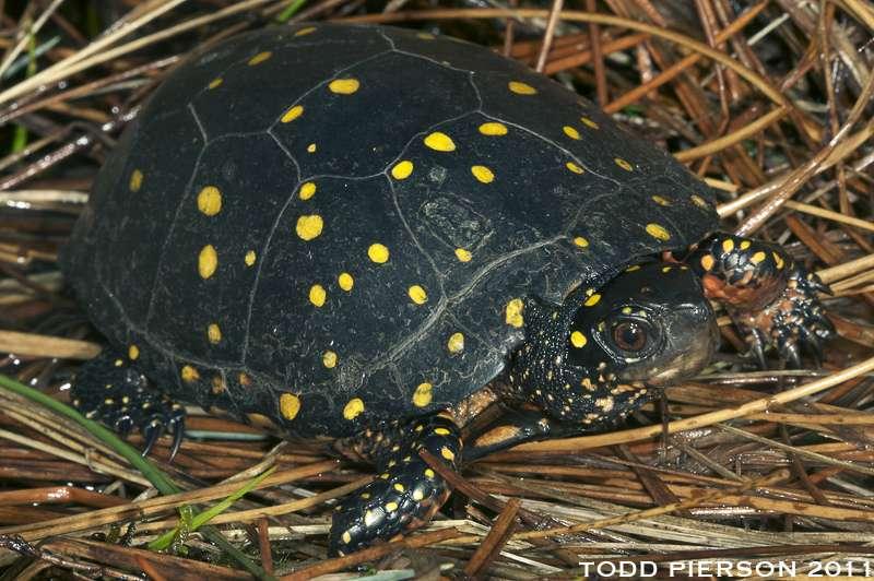 La carapace constellée de la tortue ponctuée. © Flickr, Todd W. Pierson, cc by nc sa 2.0