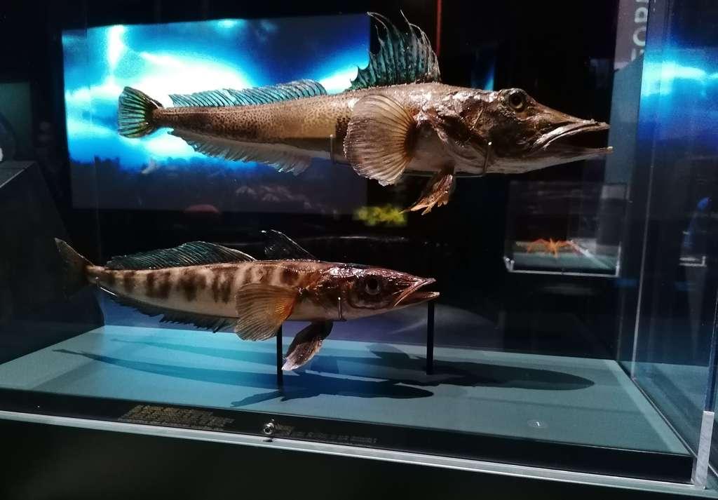 Habitants de l'océan Antarctique, les poissons des glaces Champsocephalus gunnari et Channichthys velifer ont un sang transparent, car dépourvu d'hémoglobine. © Futura