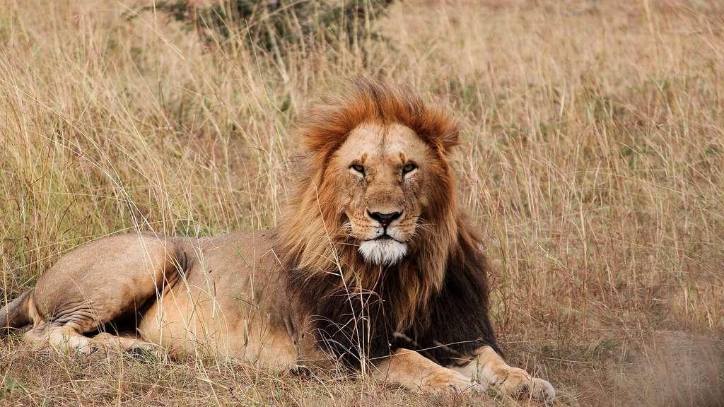 Le lion, un animal royal