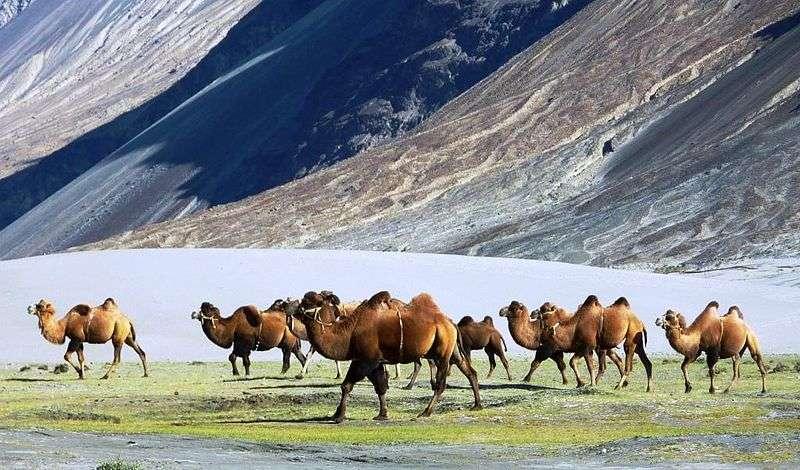 Chameaux de Bactriane sur le plateau de Nubra au Tibet. © John Hill, Wikipédia, GFDL Version 1.2