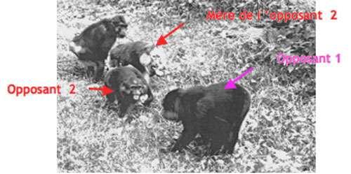 Intervention agressive, où une mère et son jeune forment une coalition contre le mâle dominant. © Bernard Thierry - Reproduction et utilisation interdites