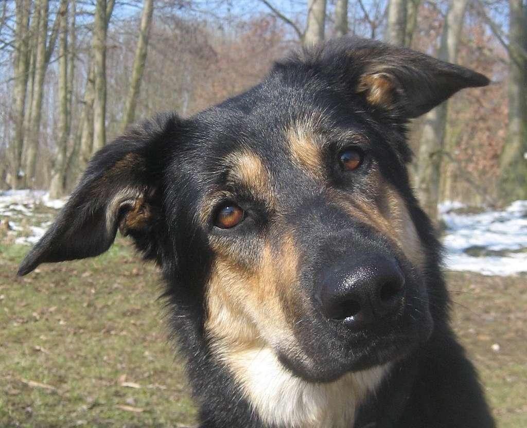 Pour leur étude, les chercheurs ont utilisé des photos de chiens présentant des visages semblables à ceux de loups et des oreilles plutôt droites. © Juliane Bräuer, Max Planck Institute