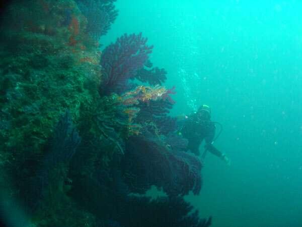 Photo 21. Un tombant méditerranéen typique sur le flanc est des farillons de l'île Maïre (Marseille) vers 30 mètres de profondeur. © J. Collina-Girard