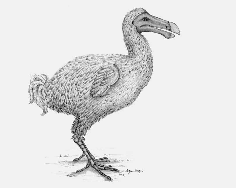 Un dessin d'Agnès Angst. Le dodo avait des ailes minuscules et un bec puissant. © Agnès Angst