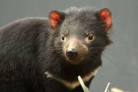 Diable de Tasmanie. Crédit UICN