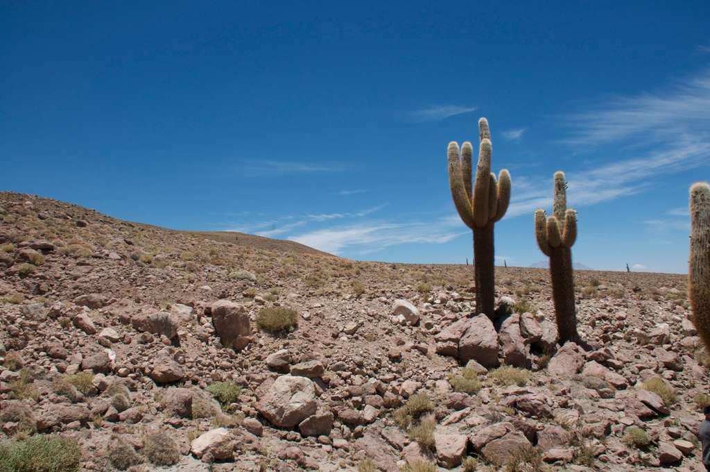 Des cactus géants de l'Atacama