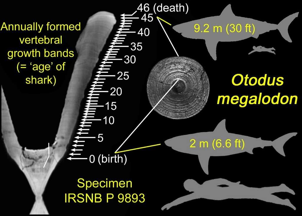Des chercheurs du Taylor and Francis Group (Royaume-Uni) ont étudié les bandes de croissance dans une vertèbre de mégalodon. Voici ce qu'ils ont conclu de la taille de ce monstre des mers à sa naissance. © Kenshu Shimada, Université DePaul