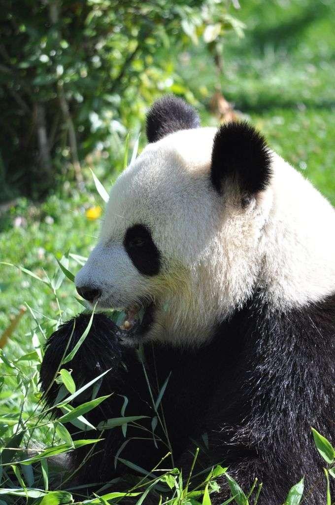 Huan Huan, la femelle panda en plein repas. © Isa2886, Wikimedia Commons, CC by-sa 3.0