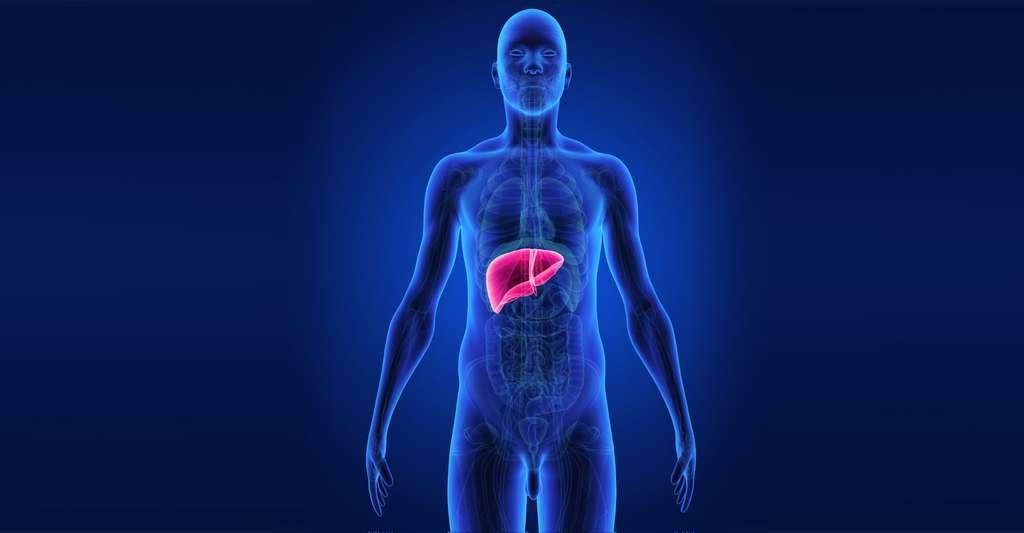 Les statines sont contre-indiquées en cas de maladie du foie. © Sciencepics, Shutterstock