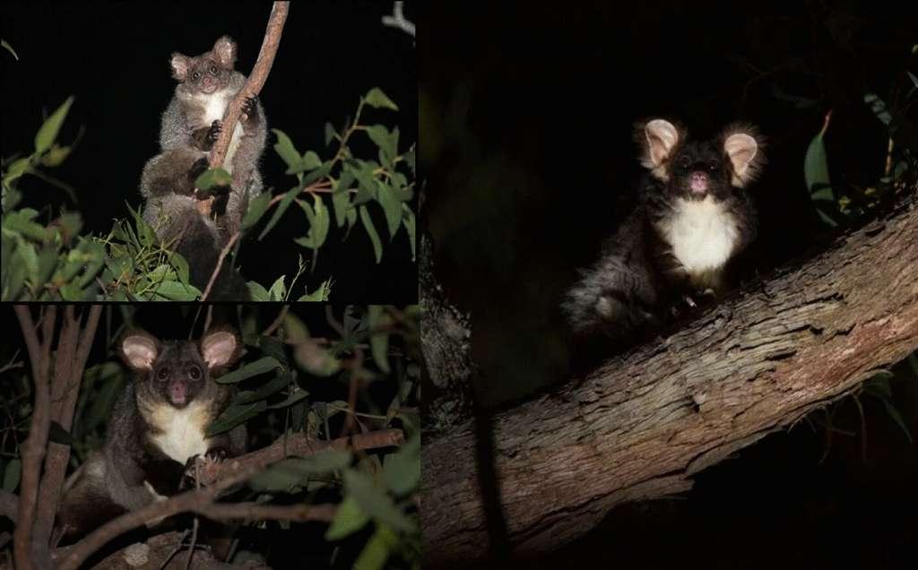 Les trois sous-espèces de phalangers volants. En haut à gauche, celle vivant au nord (P. volans minor), en bas à gauche, celle vivant au centre (P.volans) et à droite celle vivant au sud (P.volans volans). © Denise McGrego et Jasmine Vink