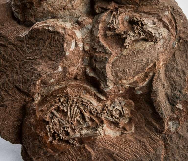 Embryons de Massospondylus carinatus, un dinosaure herbivore parmi les plus anciens au monde, découverts en Afrique du Sud en 1976. © Brett Eloff, ESRF- European synchrotron Radiation Facility, AFP