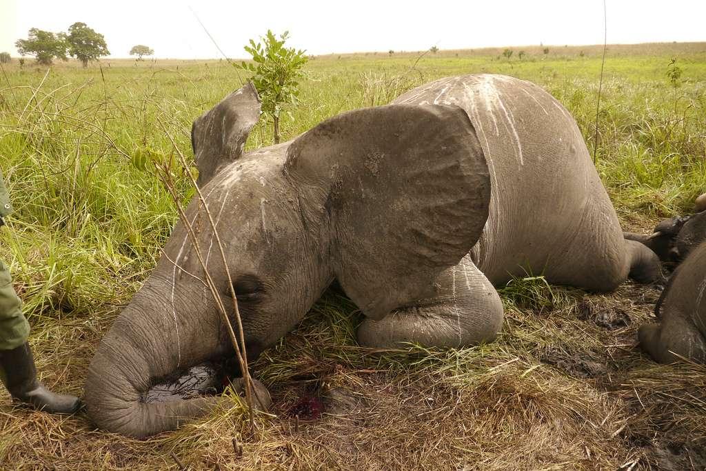Les braconniers n'en veulent qu'aux défenses des éléphants et non à leur viande comme en témoigne cette photographie, prise en mars 2012 en République démocratique du Congo. Vingt et une autres carcasses ont été trouvées à proximité le même jour. © Enough Project, Flickr, cc by nc nd 2.0