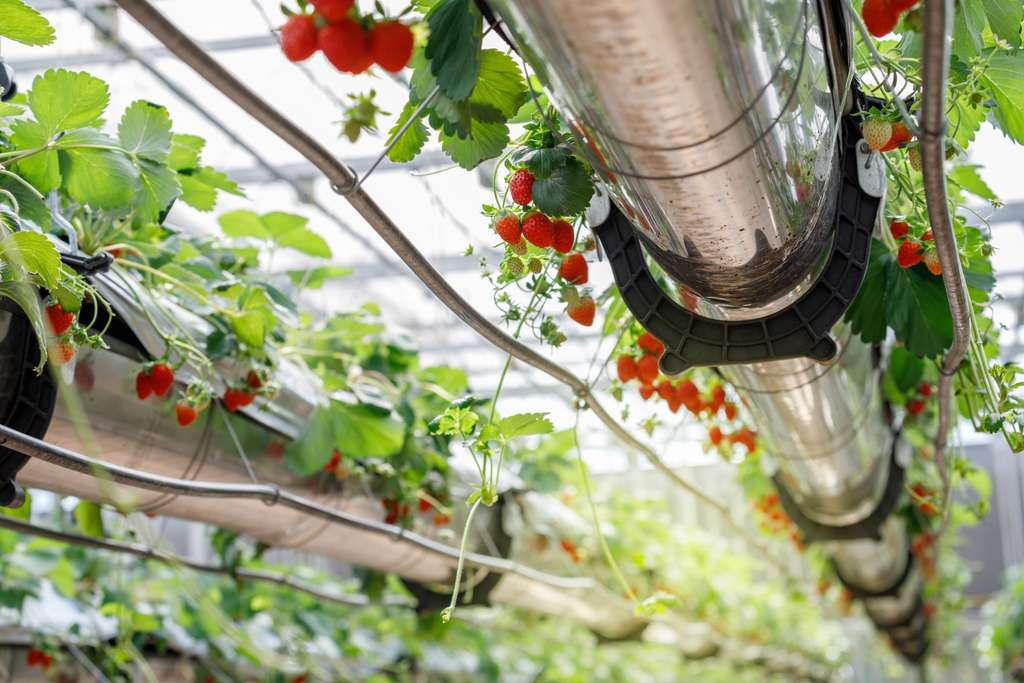 Sur les 4.500 mètres carrés cultivés, deux techniques seront utilisées, l'aéroponie et l'hydroponie, pour une production visée de 300 kilos de fruits et légumes par jour, dans un premier temps. © DN6, Adobe Stock