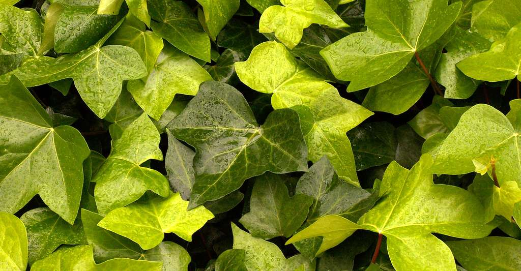 Hedera canariensis est une plante aussi appelée « lierre des Canaries ». © Cbaile19, CCO