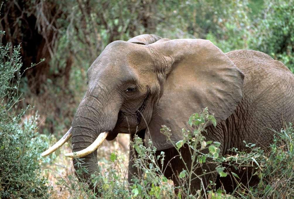 L'éléphant d'Afrique comprend deux espèces : le Loxodonta africana (la plus importante, vivant en savane) et le Loxodonta cyclotis (l'éléphant de forêt). Dans l'étude, les 11 éléphants sont de l'espèce L. africana. © Gary M. Stolz, U.S. Fish and Wildlife Service