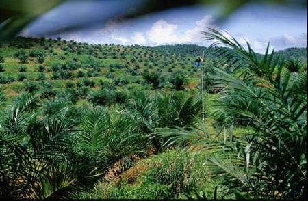 Huile de palme : plantation de palmier à huile