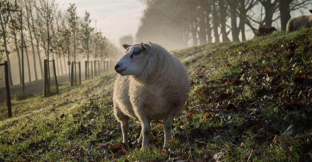 Les moutons peuvent aider à entretenir naturellement des espaces verts. © Free-Photos, Pixabay License