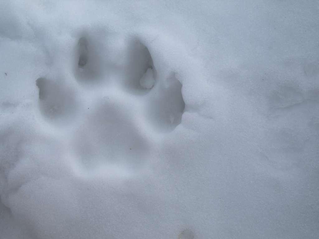 Les chiens peuvent marcher dans la neige sans aucune crainte. Ils possèdent des adaptations anatomiques (des échangeurs thermiques à contrecourant) dans les coussinets que l'ont retrouve habituellement chez des animaux vivant sous des climats froids. © C.-J. Richey121, Flickr, CC by-nc-nd 2.0