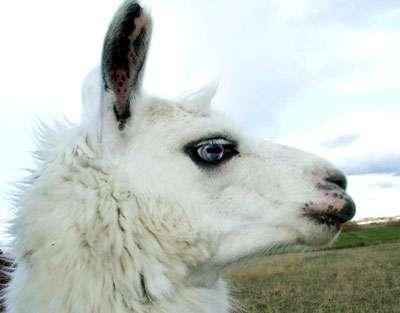 Le poil du lama donne l'alpaga.
