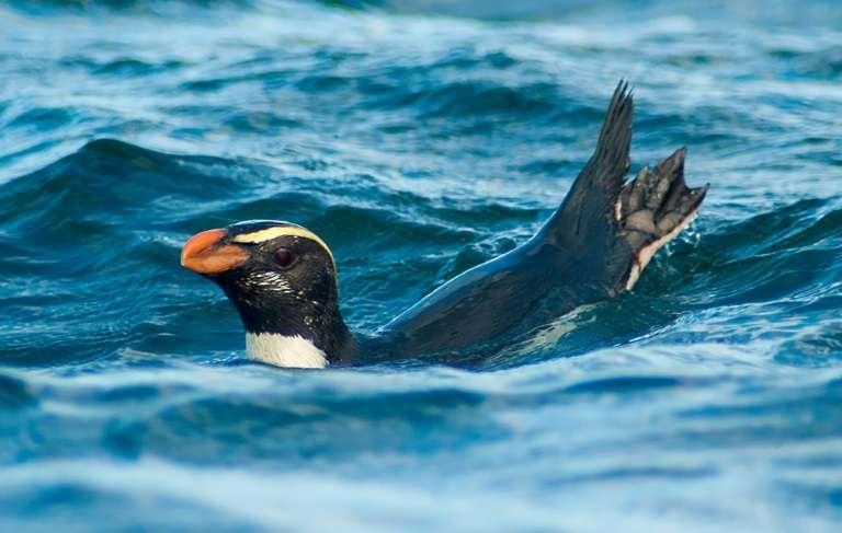 Le gorfou du Fiordland, qui vit en Nouvelle-Zélande et accomplit une mystérieuse migration annuelle de milliers de kilomètres chaque année, photographié par le chercheur Thomas Mattern. © Thomas MATTERN – AFP
